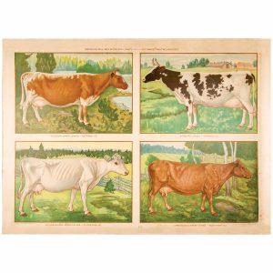 Kotimaiset lehmärodut juliste
